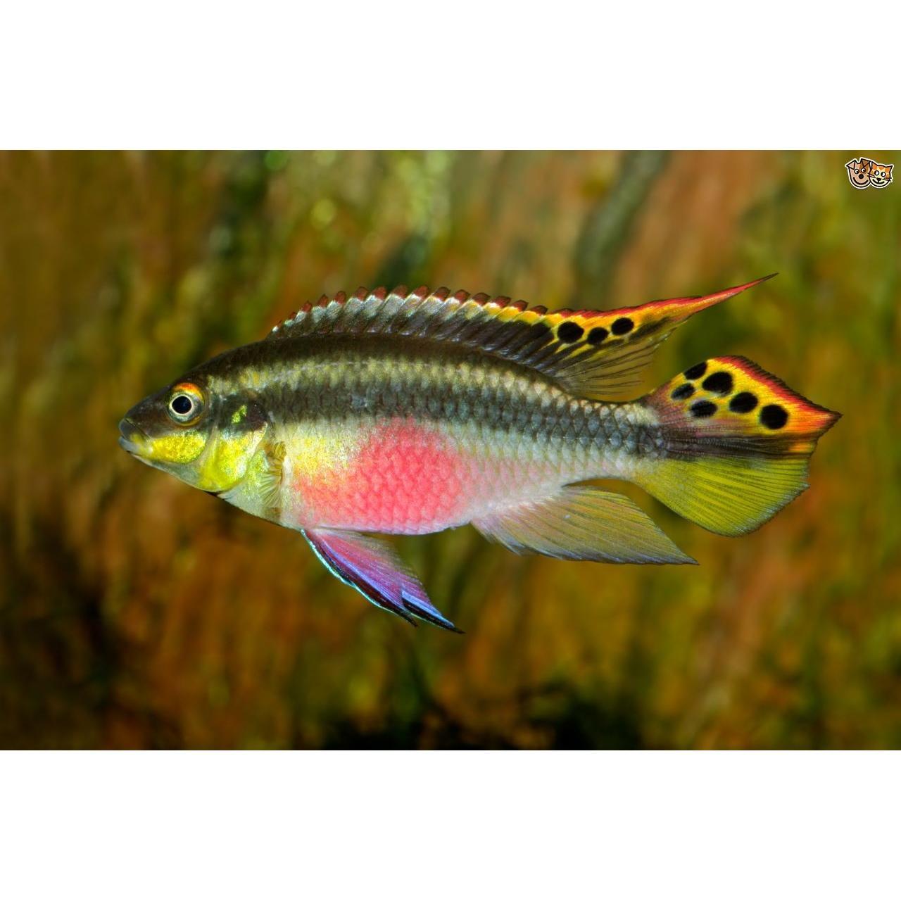 Kribensis Cichlid - 2cm (Pelvicachromis pulcher)